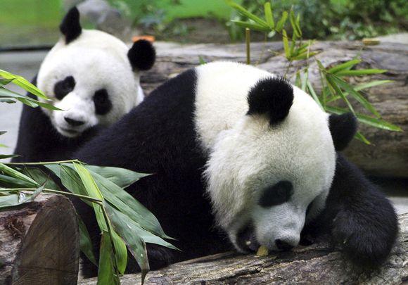 Pandos Tuan Tuano ir Yuan Yuan