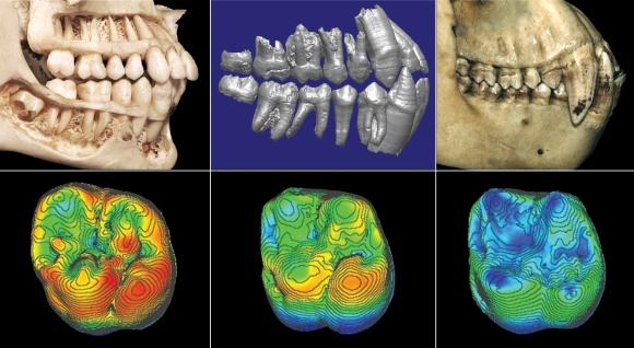 Dantų palyginimas. Kairėje – žmogaus, viduryje – Ardi, dešinėje – šimpanzės. Apačioje – visų trijų rūšių viršutinio žandikaulio pirmojo krūminio danties palyginimas. Raudona spalva žymi storesnį emalio sluoksnį, mėlyna – plonesnį.