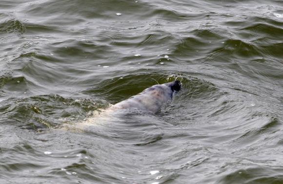 Smiltynėje  jau aptiktas ruonių pamestinukas.