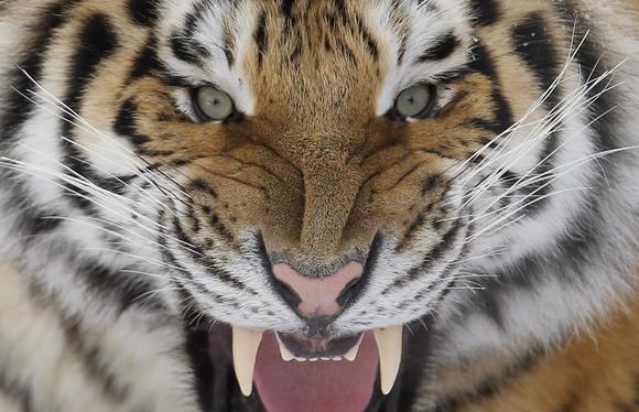Sibiro tigras