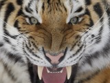 """Reuters""/""Scanpix"" nuotr./Sibiro tigras"