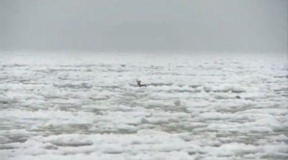 Stirna ledų jūroje