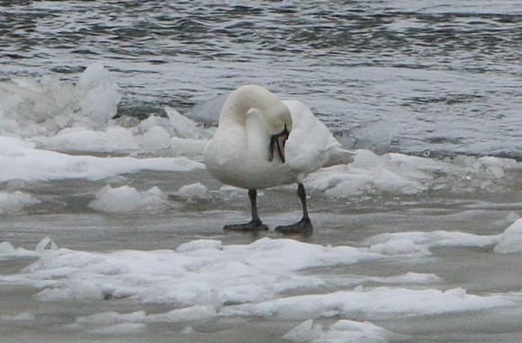 Gulbė Neryje tarp ledų