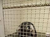 """GGT """"Pifas"""" nuotr./Šimpanzė Regina savo kalėjime"""