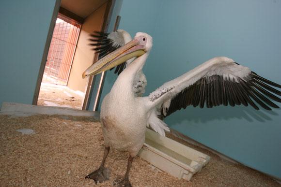Rožinis pelikanas