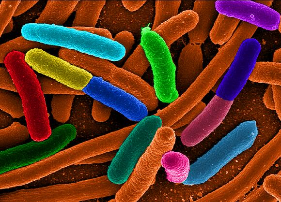 E.coli bakterija