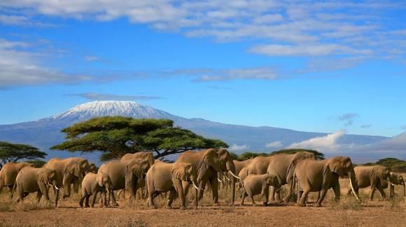 Kilimandžaro papėdėje risnojantys drambliai