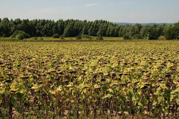123rf.com nuotr./Saulėgrąžų derlius Vengrijoje, aalia Balatono ežero