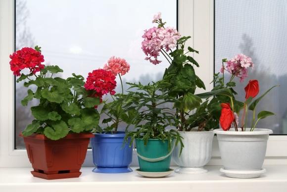 Dalis kambarinių augalų ne tik puošia patalpas, bet ir švarina orą.