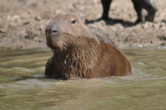 Greitgrisim.lt/Kapibara
