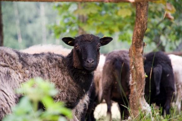 Škudės avys