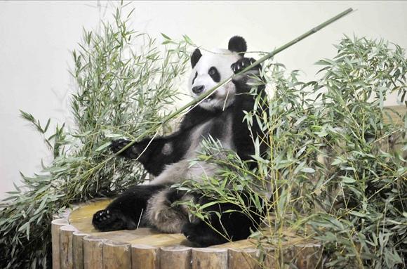 Panda vardu Yangas Guangas