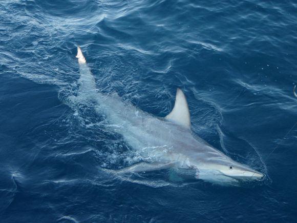 AFP/Scanpix nuotr./Miarusis ryklys, prisitaikęs prie klimato pokyčių