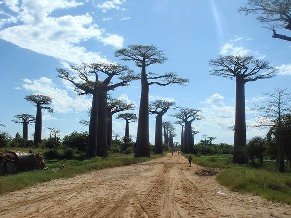 flickr.com nuotr./Madagaskaro baobabų alėja