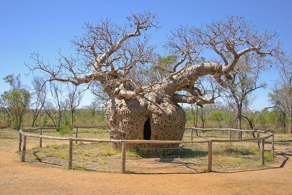 Wikipedia.org nuotr./Boab Kelėjimo medis