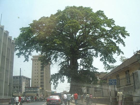 Wikipedia.org nuotr./Medvilnės medis