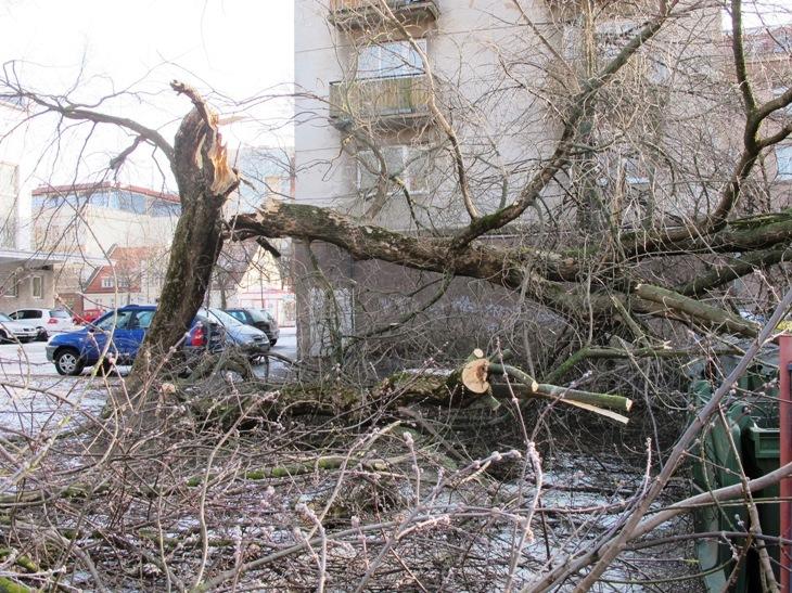 Aurelijos Kripaitės/15min.lt nuotr./Herkaus Manto gatvėje stiprus vėjas iavertė medį.