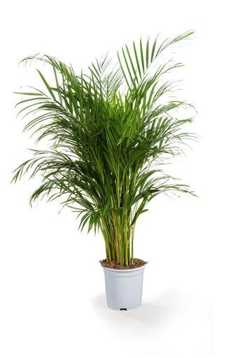Fotolia nuotr./Arekinė palmė