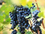Shutterstock nuotr./Vynuogės