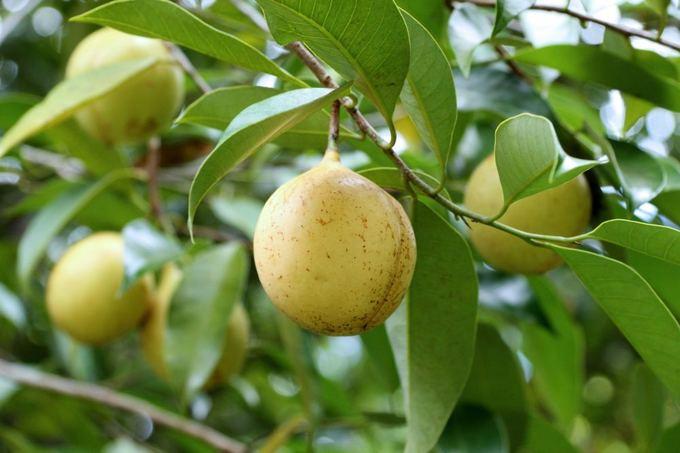 Fotolia nuotr./Muskatmedžio vaisiuose subręsta sėklos vadinamos muskato rieautais.