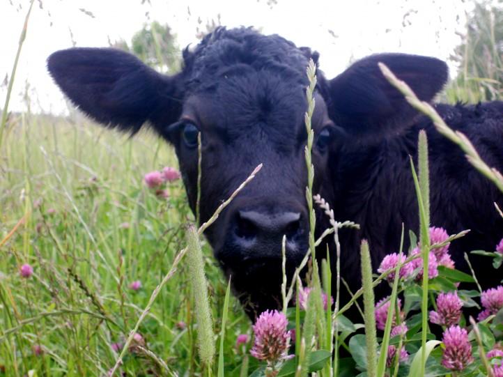 Rugpjūčio karvutė