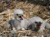 Gamtosaugos projektų vystymo fondo nuotr./Jūrinių erelių jaunikliai