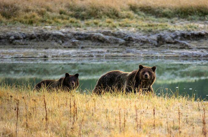 AFP/Scanpix nuotr./Grizliai