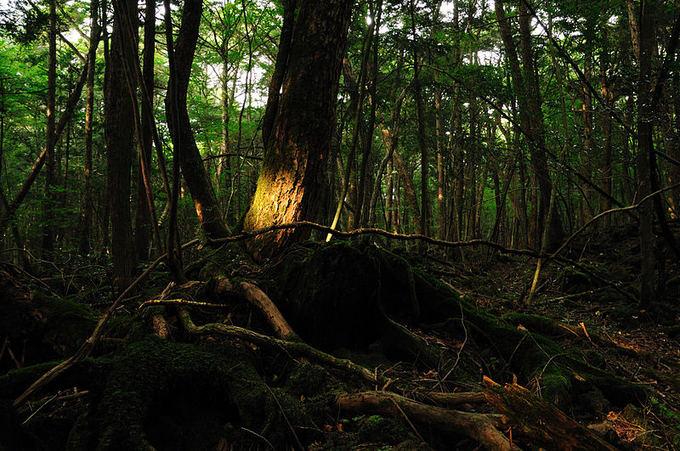 wikimedia.org nuotr./Aokigaharos miakas (Liūdnųjų medžių jūra)