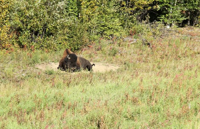 Evelinos ir Karolio nuotr./`tai ir pirmasis mūsų bizonas