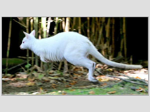 AFP/Scanpix nuotr./Kengūra - vienas įspūdingiausių sterblinių gyvūnų