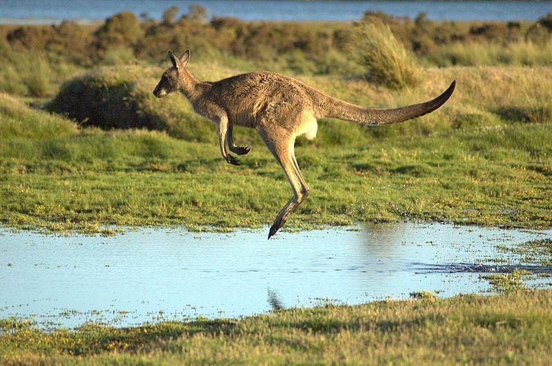 Pasaulio gyvūnai: aukštai šokinėjančios, vaikus sterblėje auginančios kengūros