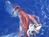 Ruxfish.com. nuotr. Ties Japonijos Ogasavaros salomis gigantiškas kalmaras (7,98 m) stvėrė jau užkibusį mažesnį kalmarą, o į paviršių buvo ištrauktas negyvas