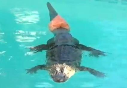 2 metrų ilgio aligatoriui Ponui Stubbsui pritaisytas uodegos protezas