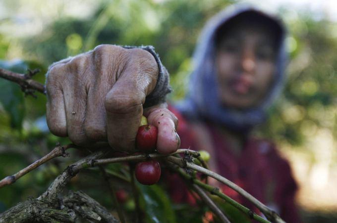 10 didžiausių pasaulio aalių  kavos augintojų