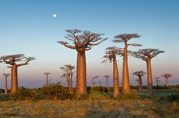 Baobabai