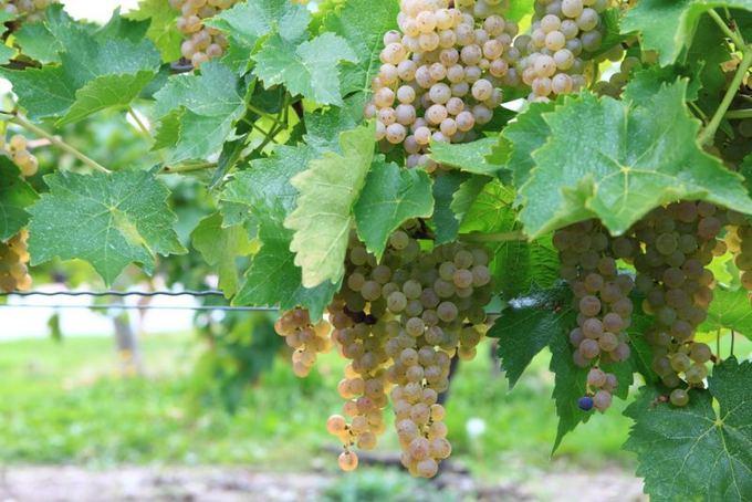 Kasmet vykstantis Niagaros ledinio vyno festivalis Kanadoje