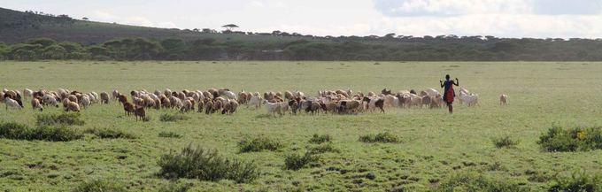 Evelinos ir Karolio nuotr. /Masajas gano ožkas