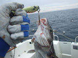 Tokio dydžio žuvis – Baltijoje laimikis, o Norvegijos jūroje – masaline žuvelė otams vilioti