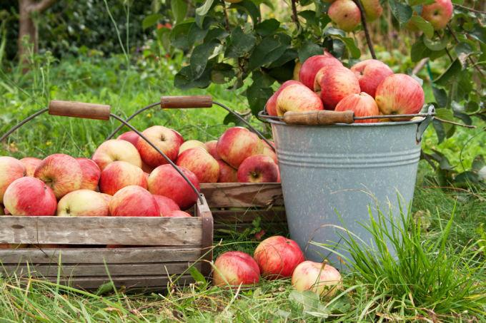 Adamo obuolių hipertenzijos receptas)