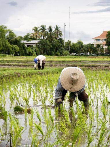 123rf.com nuotr./Tailande ir Vietname jus visur pasitiks ryžių plantacijos