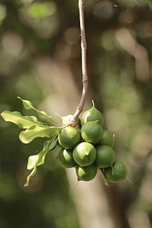 Makadamijos riešutai ant medžio