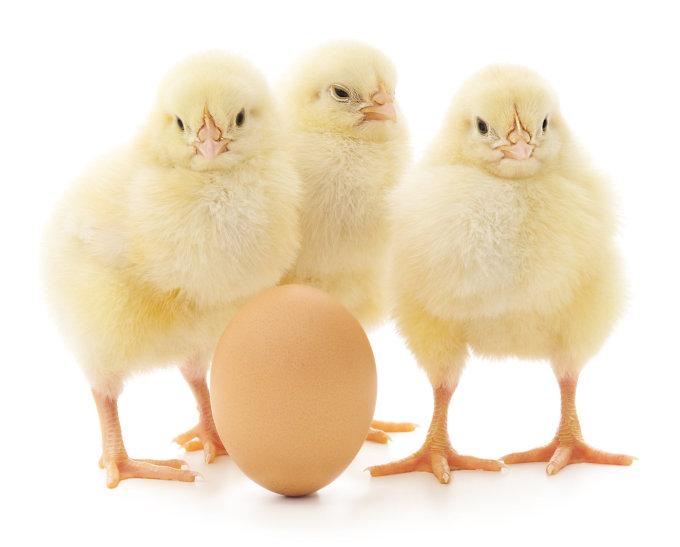 Fotolia nuotr./Kas atsirado pirmiau - višta ar kiaušinis?