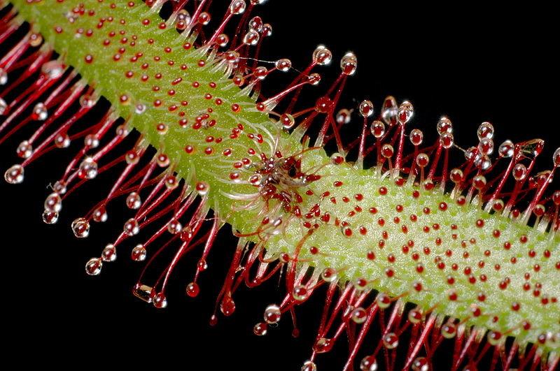 Kapo saulašarė (Drosera capensis)