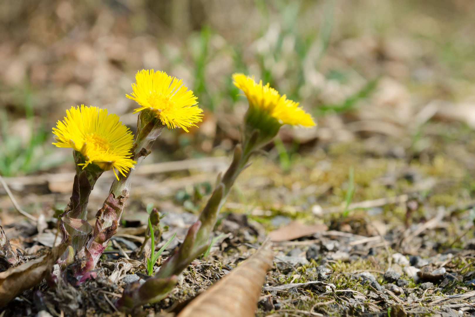 vaistinis augalas, vartojamas inkstų hipertenzijai gydyti)