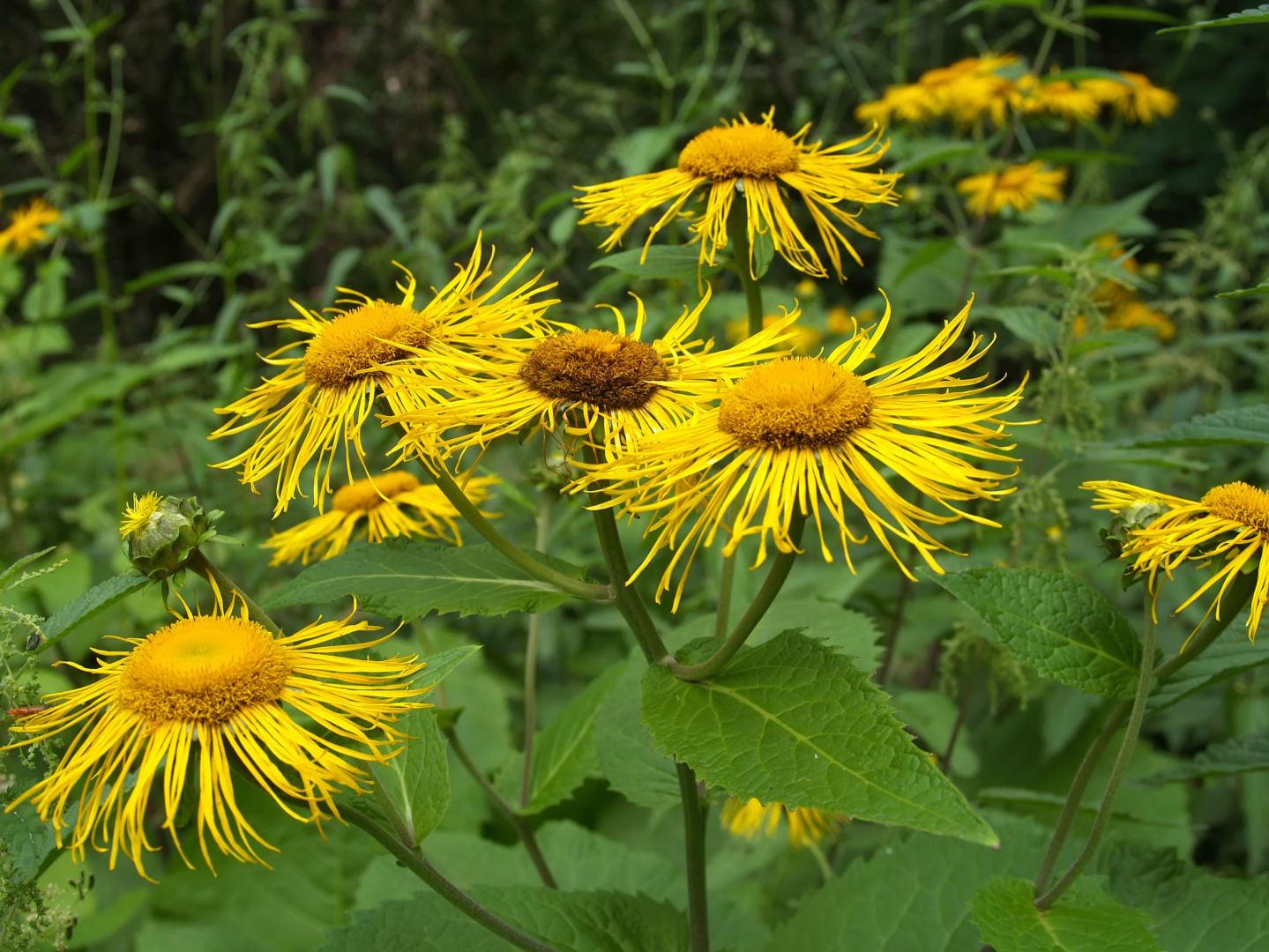 vaistiniai augalai, vartojami hipertenzijai gydyti)