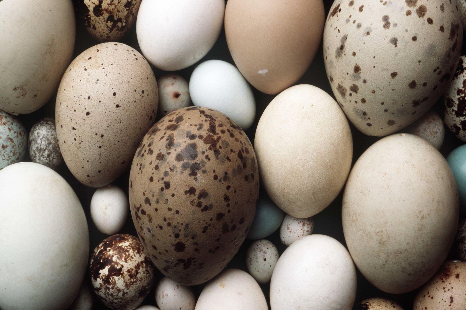 kaip padidinti erekcijos putpelių kiaušinius)