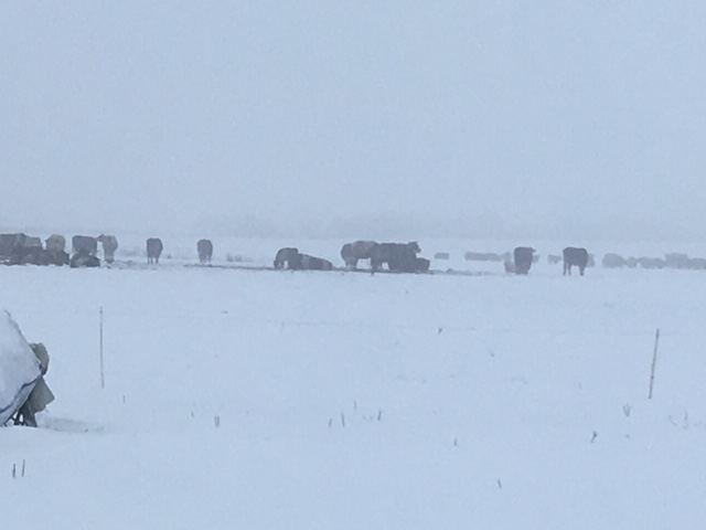 Žiemą Kaišiadorių rajone besiganantys gyvuliai