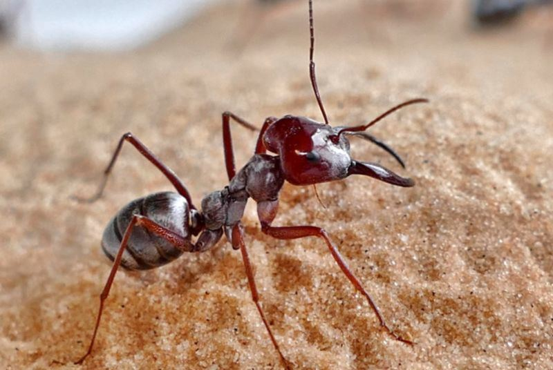 Sidabrinė skruzdė Cataglyphis bombycina