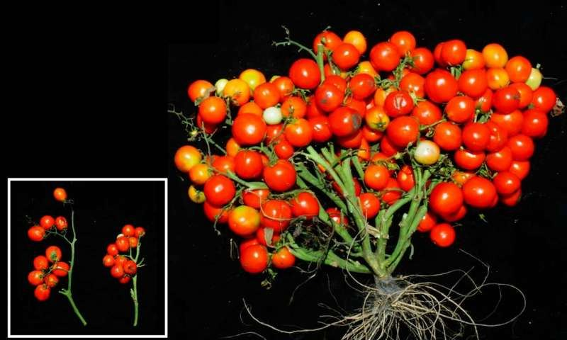 Genetiškai modifikuoti pomidorai auga su labai trumpais augalo stiebais. Lapai nukarpyti, kad geriau matytųsi patys pomidorai