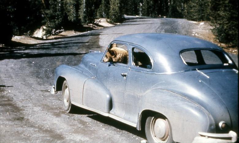 Automobilyje sėdintis lokys Jeloustouno nacionaliniame parke, Vajominge
